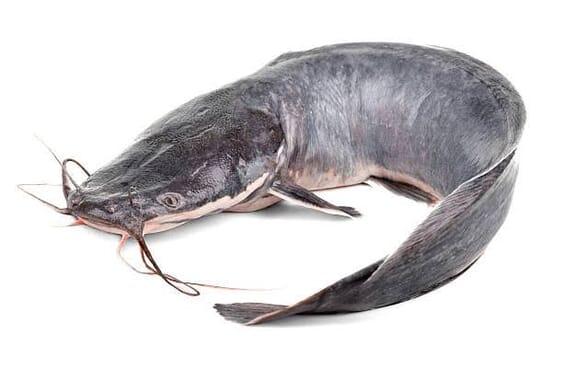 Catfish (Fresh)